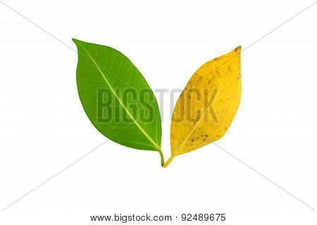 Tree Leave With Two Color