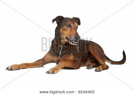 bastard-mixed breed dog