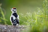 foto of woodpecker  - Young Great Spotted Woodpecker on the ground right after leaving the nest - JPG