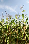 picture of corn stalk  - The leaves and stems of maize  - JPG
