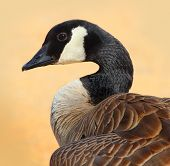 foto of canada goose  - A Canada Goose on a Sandy Beach in Tahoe - JPG
