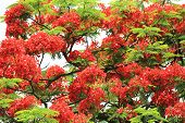 picture of royal botanic gardens  - Red flowers of Royal Poinciana Flame Tree blooming in the park in summer - JPG