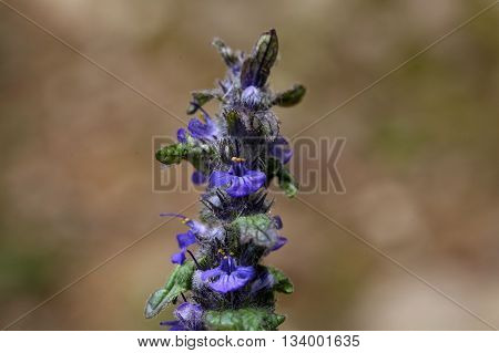 Flowers of Geneva bugleweed (Ajuga genevensis) a plant used in traditional medicine.