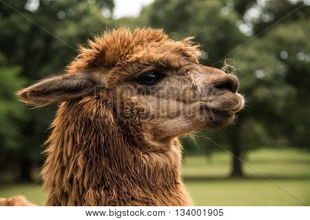 Alpaca closeup of head and large eyes
