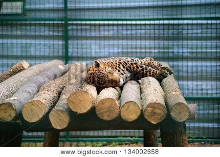 Portrait of leopard sleeping on logs in cage