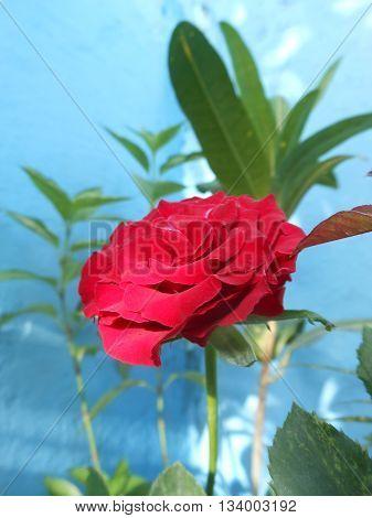 pink ornamental only Venezuelan beauty in the world