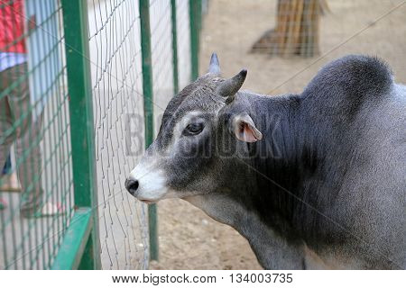 Headshot of Brahman or Brahma cattle (Bos taurus indicus)