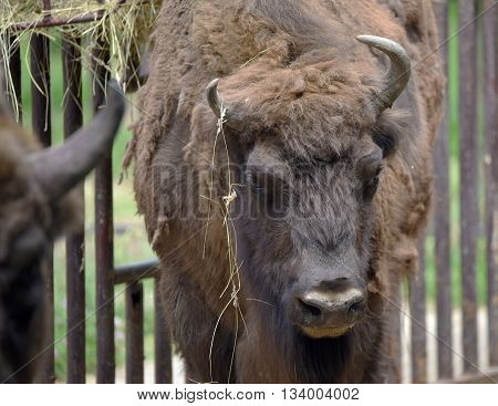 European brown bison head with long horn