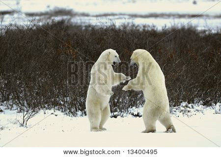 Fight Of Polar Bears
