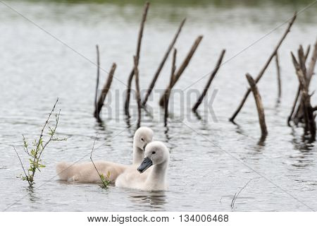 Two Young Wild Swan Chicks On A Lake