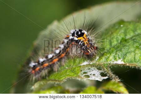 Yellow-tail moth (Euproctis similis) caterpillar. Larva of moth in the family Erebidae (formerly Lymantriidae) covered with irritating hairs
