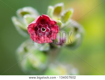 Hound's-tongue (Cynoglossum officinale) flower. Deep red funnel shaped flower of plant in the family Boraginaceae growing on British coast
