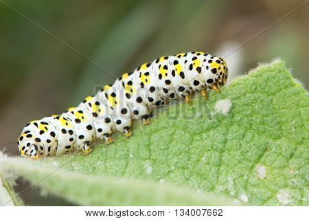The mullein moth (Cucullia verbasci) caterpillar on foodplant. Brightly coloured larva in family Noctuidae on great mullein (Verbascum thapsus)