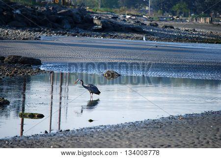 Heron fishing for breakfast at Birch Bay WA