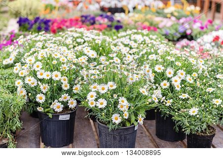 Beautiful Daisy Flowers In Vases