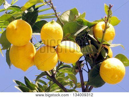 Lemons growing on lemon tree in Or Yehuda Israel