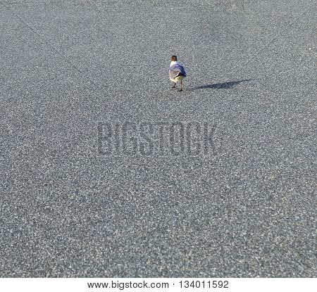 Seagull Walks Along A Parking Lot