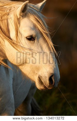 Portrait of a beautiful white horse of Camargue