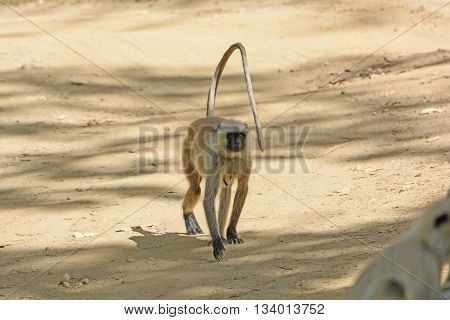 Northern Indian Langur walking down a path in Kanha National Park in India