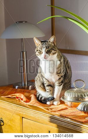 cute domestic Cat sitting in the room