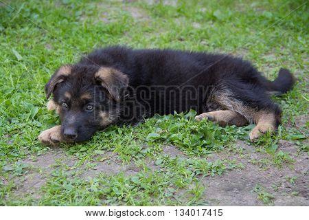 Puppy German Shepherd lying in green grass