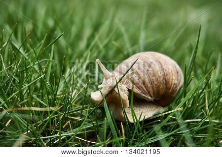 Snail Walking On The Grass