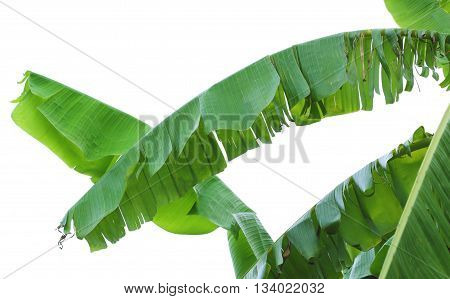 Banana Leaves. Banana Tree.