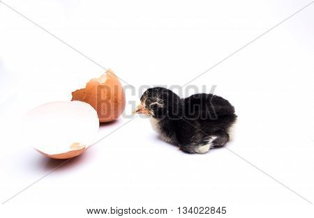Black Chicks Hatched From Eggs Isolated On White Background.;