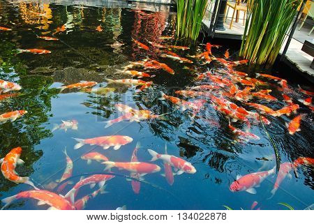 Red and white koi fish in a pond