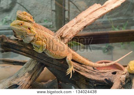 Central Bearded Dragon (pogona Vitticeps).