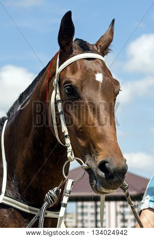 Portrait of beautiful brown horse in Nalchik
