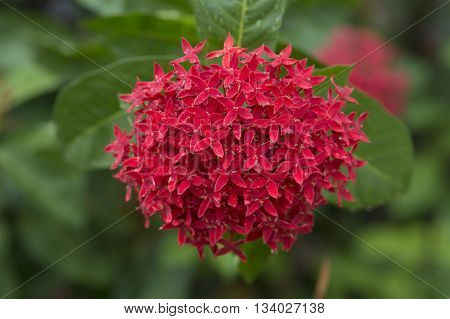 beautiful natural background red ixora flowers background