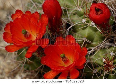 Blooming Cactus in Joshua Tree Park, California, US