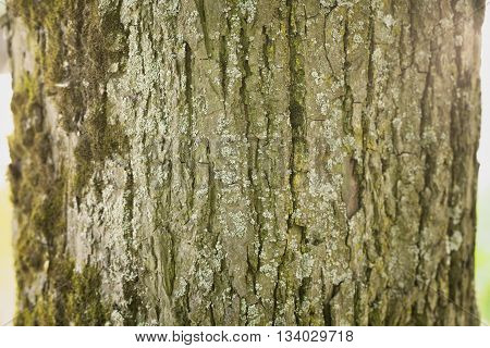 linden tree bark closeup background, shallow focus