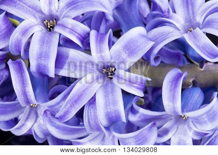 isolated cluster of flower violet hyacinth on white background