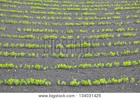 field with irrigation system on volcanic lapilli ground