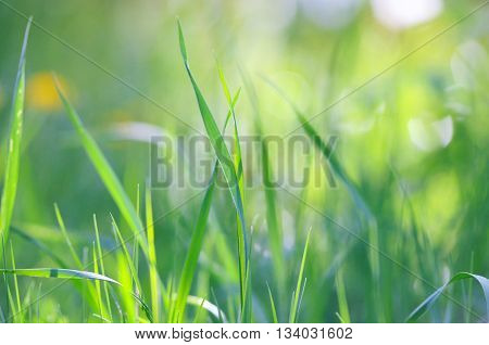 Natural background of green grass blades close up.