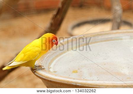 Yellow lovebird (small parrot) on the brink of water fountain.