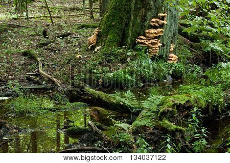 Sulphur Shelf fungi on oak tree and water in foreground in autumnal stand of Bialowieza Forest, Bialowieza Forest, Poland, Europe