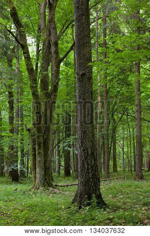 Old birch tree in foreground and bunch of oak in deciduous stand stand in background, Bialowieza Forest, Poland, Europe