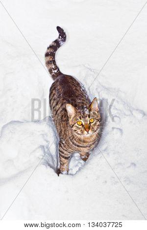 cat strolling thru snow in winter time