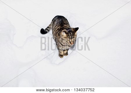 Cute Cat Strollingh Through Snow In Winter