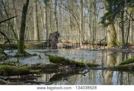Spring landscape of old forest and broken trees lying in water, Bialowieza Forest, Poland, Europe