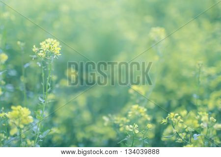 Soft focus cabbage flowers in the summer filed blurred nature green and yellow background copy space lens blur selective focus