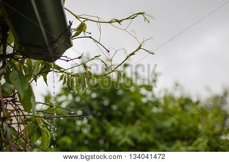 Rainwater pouring from a gutter onto grapevines