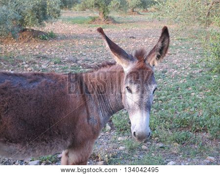 brown donkeys grazing in olive grove in Andalusia