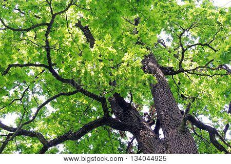 oak . . . . . . . .