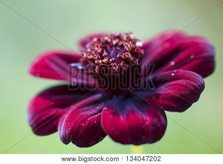 A seemingly floating deep red flower on green background.