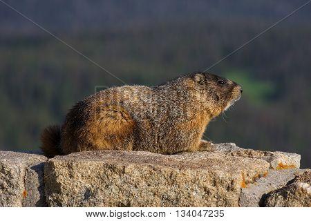 A yellow-bellied marmot sunbathing atop a rock wall.