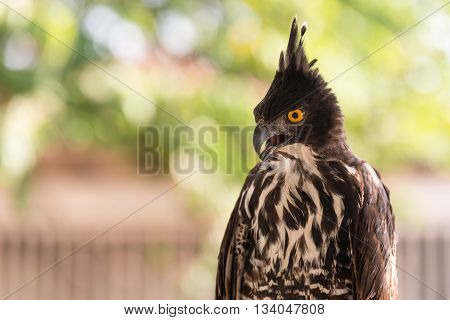 Peregrine falcon used to hunt quail and other desert birds in the Arabian peninsula. They are the fastest animals in the world - Bedouin settlement